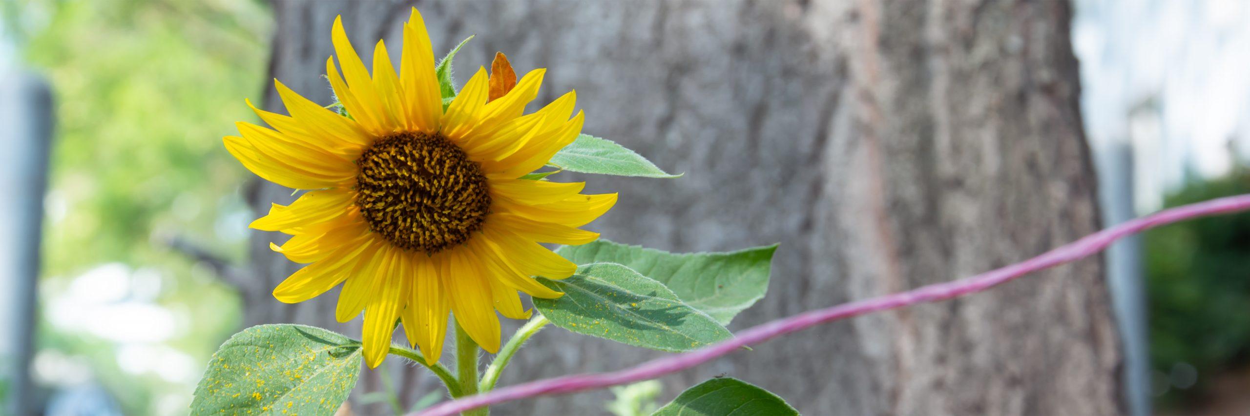 Sonnenblume als Symbol für die Umwelt