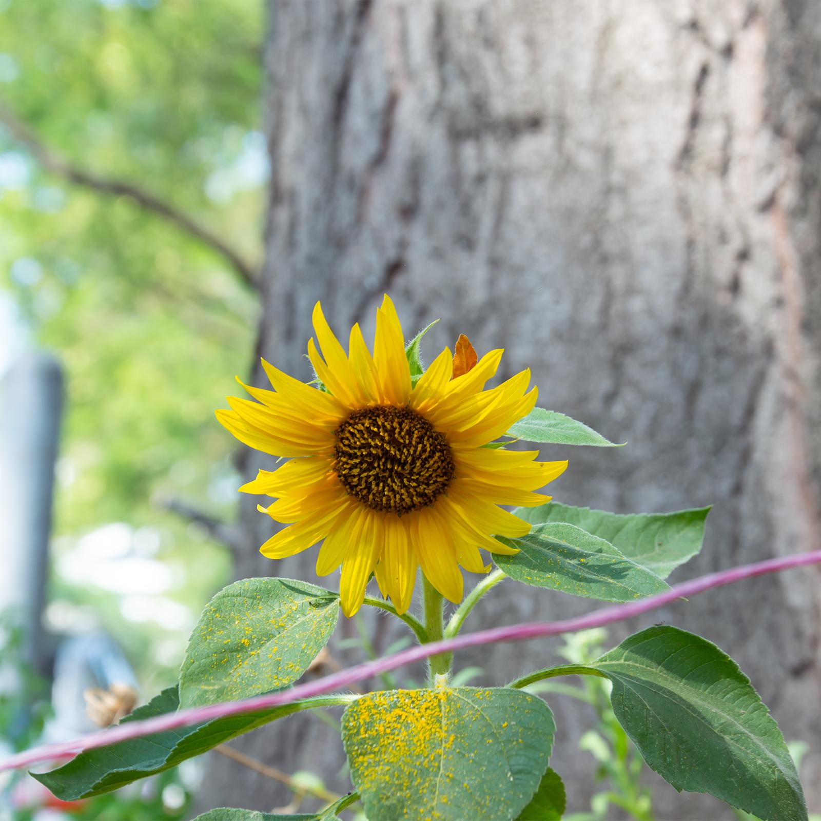 Sonnenblume; Baum; Straßenrand; Nachhaltigkeit; Relevanz Nachhaltigkeit