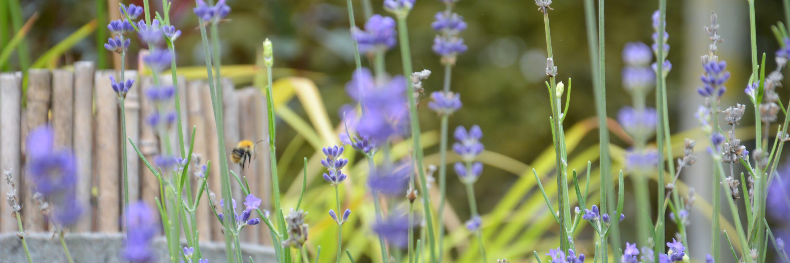 Blumen; Garten; Grün; Lila; Ziele nachhaltiger Entwicklung; Bienen; Lavendel